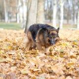 German shepherd dog composition Royalty Free Stock Photo
