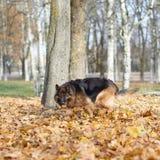 German shepherd dog composition Royalty Free Stock Photos