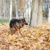 German shepherd dog composition Stock Photo