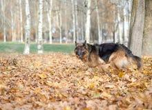 German shepherd dog composition Stock Photography