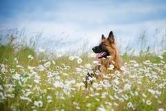 German shepherd dog on a daisy field Stock Photography