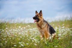 German shepherd dog on a daisy field Stock Photo