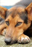 German Shepherd dog. The German Shepherd German: Deutscher Schäferhund, is a breed of medium to large-sized working dog that originated in Germany. The German royalty free stock images