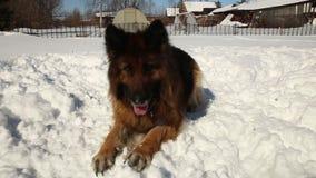 German shepherd dog stock video footage