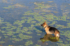German shepherd dog (East European sheepdog) stands into water of lake and looks into the distance Royalty Free Stock Images