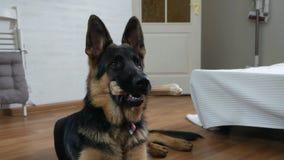 German shepherd dog eating a bone. The dog lies on the living room floor and chews on a chew bone
