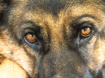 German Shepherd Dog Eyes Close Up Stock Photos