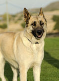 German Shepherd Dog (fawn) Stock Photo