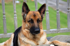 German Shepherd Dog female Stock Photos