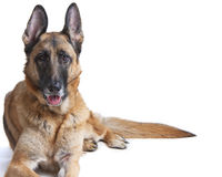German Shepherd Dog Female Laying Down Royalty Free Stock Photos