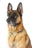 German Shepherd Dog Royalty Free Stock Photos