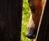 German Shepherd dog through fence Royalty Free Stock Photos