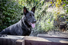 German Shepherd Dog by Fence. Black German Shepherd Dog next to wooden fence Royalty Free Stock Photography