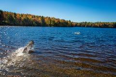 German Shepherd dog fetching a stick in the lake Royalty Free Stock Photos