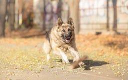 German Shepherd dog fetching stick Royalty Free Stock Photos