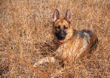 German Shepherd Dog in Field Royalty Free Stock Image