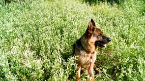 German Shepherd dog in a field of white flowers. stock photography