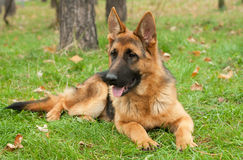 German Shepherd dog. On the forest Royalty Free Stock Photo
