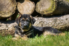 German shepherd dog in front of woodpile Stock Image