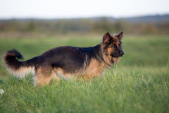 German shepherd dog full length Royalty Free Stock Photography