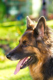 German Shepherd dog in the garden Royalty Free Stock Photo