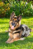 German Shepherd dog in the garden Royalty Free Stock Images