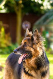 German Shepherd dog in the garden Royalty Free Stock Photography