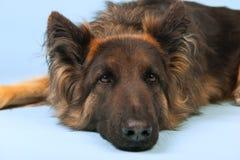 German shepherd dog. On blue background Royalty Free Stock Photo