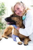 German Shepherd Dog getting bandage after injury on his leg by a Royalty Free Stock Image