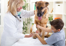German Shepherd Dog getting bandage after injury on his leg by Stock Images