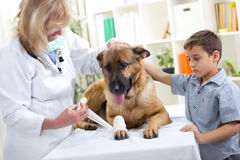 German Shepherd Dog getting bandage after injury on his leg by Royalty Free Stock Image