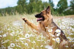 German shepherd dog gives paw royalty free stock images