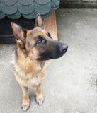 German Shepherd Dog Stock Photo