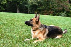 German Shepherd Dog in the Grass Royalty Free Stock Image