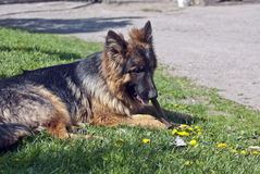 German Shepherd Dog. On the grass Royalty Free Stock Photography