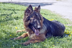 German Shepherd Dog. On the grass Royalty Free Stock Image
