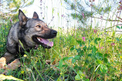 German Shepherd dog in the grass Stock Photos