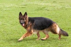 German Shepherd Dog on green grass Stock Photos