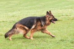 German Shepherd Dog on green grass Stock Photography