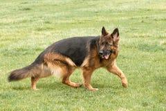 German Shepherd Dog on green grass Royalty Free Stock Photo