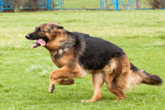 German Shepherd Dog on green grass Royalty Free Stock Image