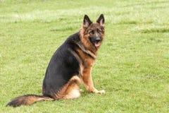 German Shepherd Dog on green grass Royalty Free Stock Images