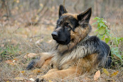 German Shepherd Dog. Has a rest. Animal against nature blur background. This is longhair variety of Royalty Free Stock Image