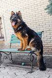 German Shepherd dog, Royalty Free Stock Photos