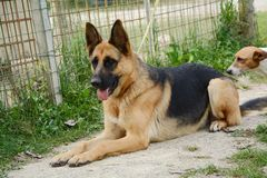 German Shepherd dog Stock Images