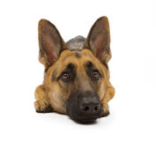 German Shepherd Dog Isolated on White Royalty Free Stock Photos