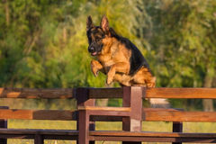 German shepherd dog. Jump and training royalty free stock images