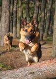 german shepherd dog jumping stock photography