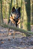 German Shepherd Dog. Jumping over a branch royalty free stock image