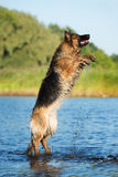 German shepherd dog jumping in the river Royalty Free Stock Photos